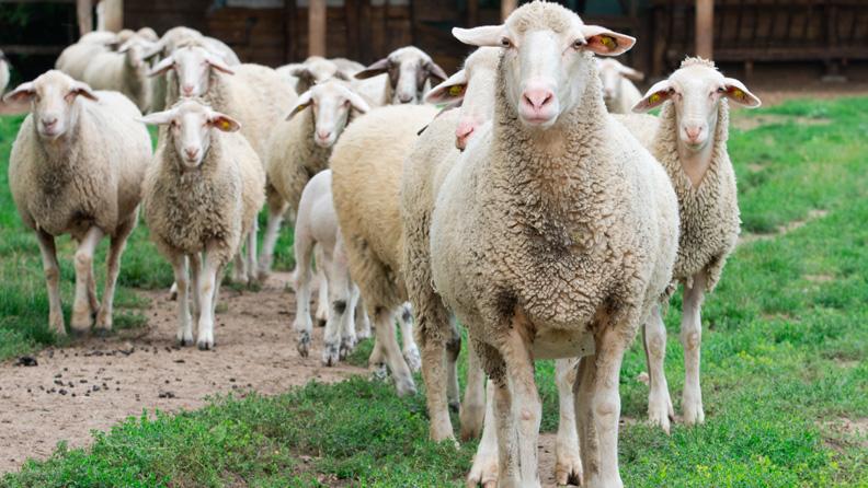 Centro de Investigación ovisnova, grupo de ovejas de frente